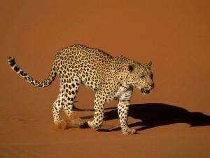 Postal: Leopardo y su sombra