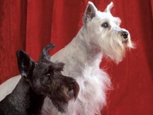 Perros Schnauzer blanco y negro