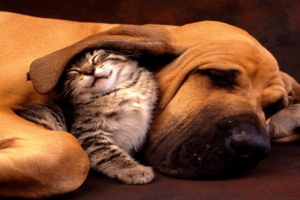 Gatito bajo la gran oreja de un perro