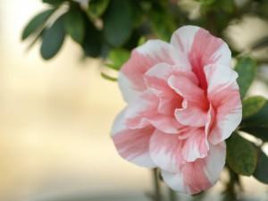 Postal: Flor de azalea de colores blanco y rosa