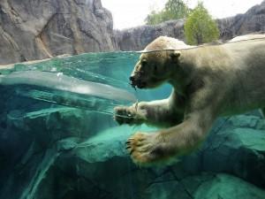 Oso polar nadando en aguas de un zoológico