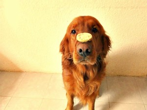 Golden Retriever con una galleta en el hocico