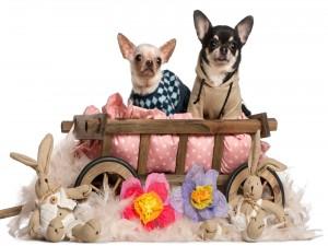 Un par de perros Chihuahua en su camita