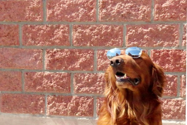 Golden Retriever con gafas de espejo