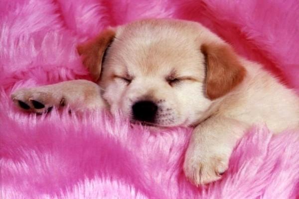 Perrito durmiendo en una manta rosa