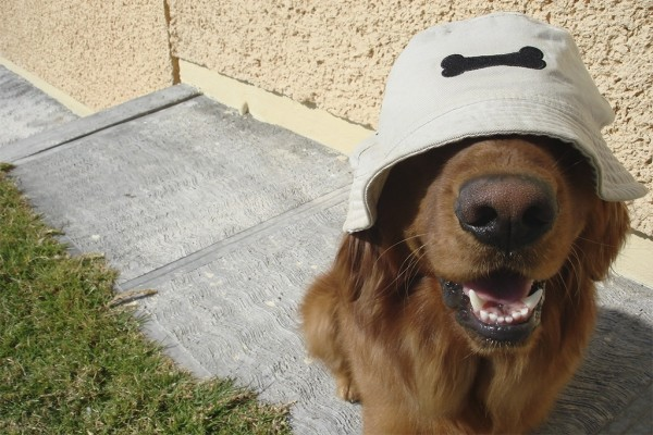 Golden Retriever con un gorro de hueso