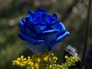 Postal: Una rosa azul