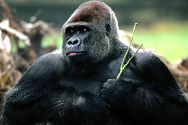 Gorila con una ramita