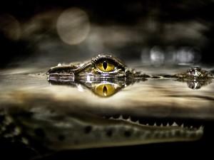 Cabeza de un cocodrílo vigilante
