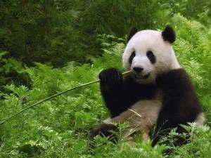 Postal: Oso Panda comiendo bambú