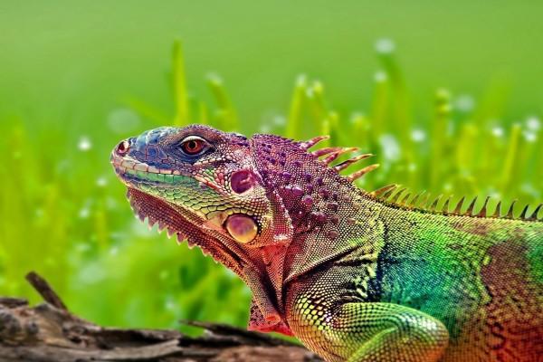 Iguana luciendo infinidad de colores