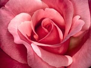 Una rosa perfecta