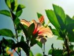 Flor de hibisco