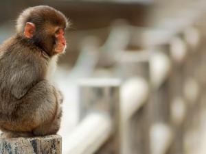 Postal: Macaco triste