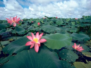 Postal: Flores de loto rosaceas