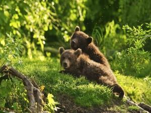 Postal: Cachorros de oso en el bosque