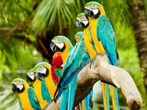 Guacamayos alineados en una rama