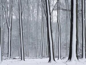 Postal: Líneas de nieve en los troncos de los árboles