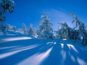 A la sombra de unos pinos nevados