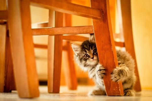 Gatito escondido detrás de la pata de una silla