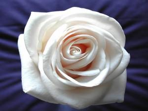 Rosa blanca sobre un fondo azul