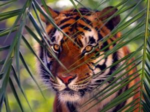 Postal: Tigre camuflado entre las hojas