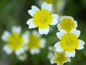 Postal: Flores blancas con un círculo amarillo