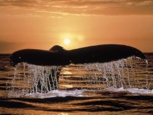 Cola de ballena asomándose a la superficie del mar