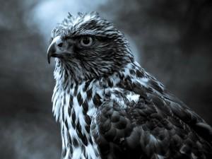 Postal: Un majestuoso halcón