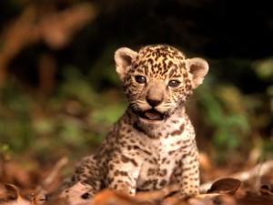 Postal: Cachorro de jaguar