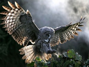 Búho con las alas extendidas