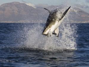 Postal: Gran salto de un tiburón en plena caza