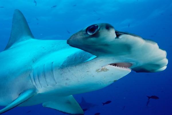 Tiburón martillo gigante