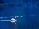 Cisne solitario en un lago azúl
