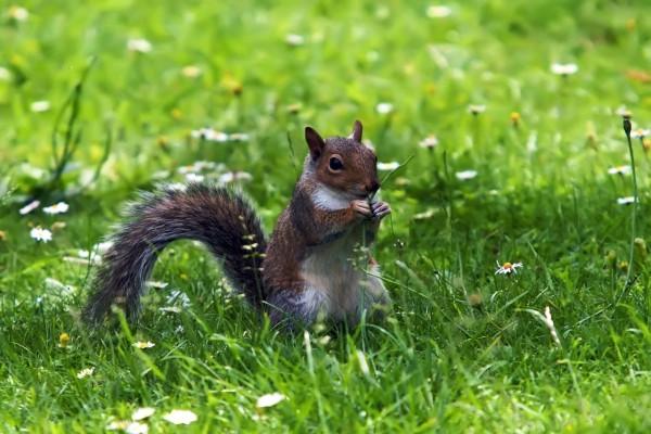 Ardilla comiendo hierba fresca