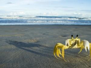 Cangrejo amarillo caminando sobre la arena