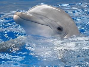 Postal: Delfín asomando la cabeza fuera del agua