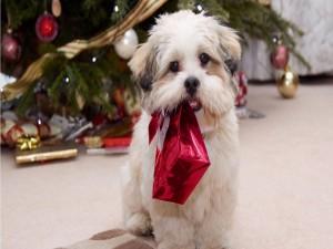 Perrito blanco llevando un regalo de Navidad