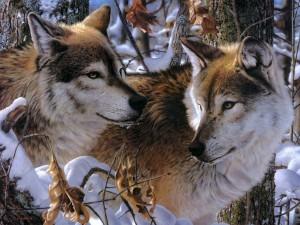 Postal: Lobos en la nieve