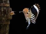 Dando de comer al polluelo en pleno vuelo