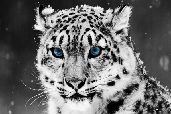 Leopardo de las nieves con ojos azules