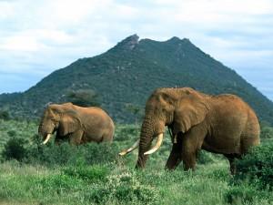 Postal: Pareja de elefantes adultos