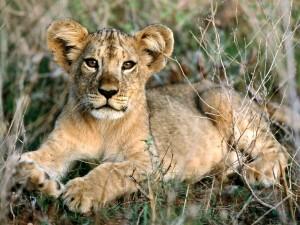 Cachorro de león tumbado