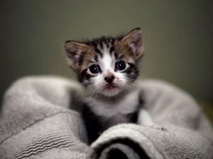 Postal: Gatito sobre una toalla