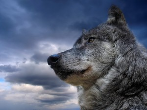 Lobo bajo un cielo gris