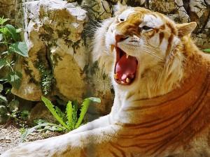 Tigre rubio