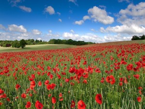 Campo de amapolas en Hertfordshire, Inglaterra