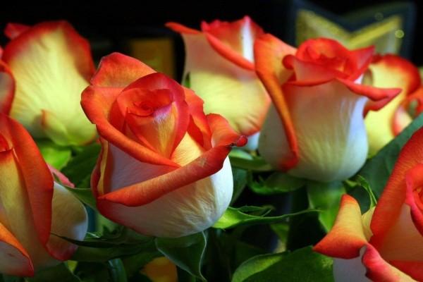 Rosas amarillas con las puntas rojas