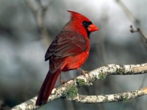 Postal: Cardenal rojo en una rama