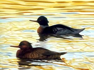 Postal: Dos patos nadando juntos